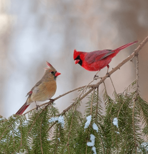 Cardinal Pair In Pine