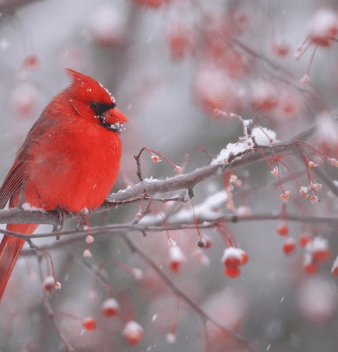 Cardinal In Berries