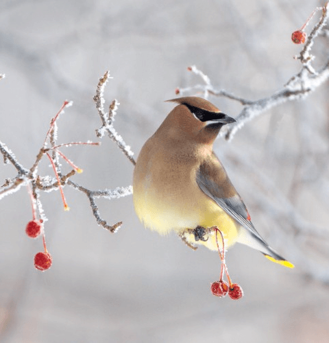 Cedar Waxwing In Berries