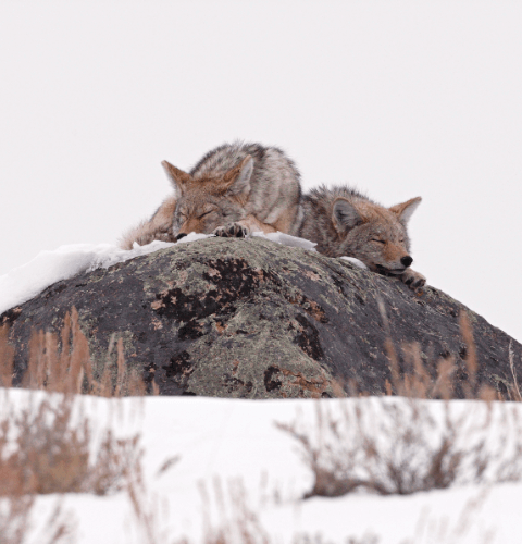 Coyotes On Rocks