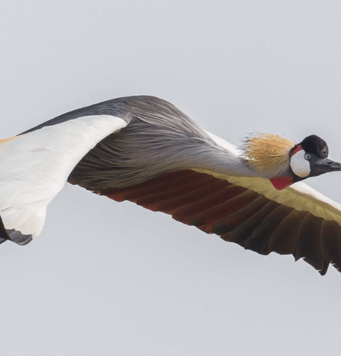 Crown Crane In Flight