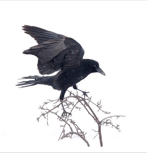 Crow Left