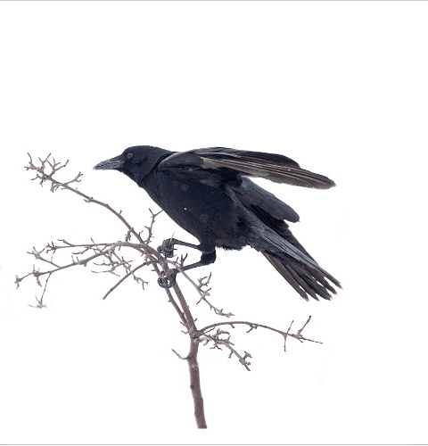 Crow Right