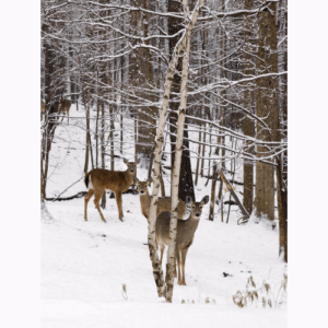 Deer In Birch