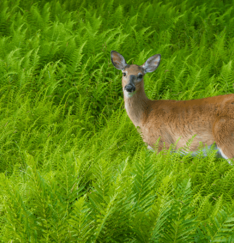 Doe In Ferns