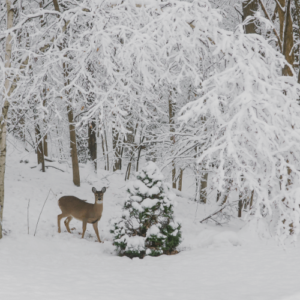 Doe In Snowy Birch