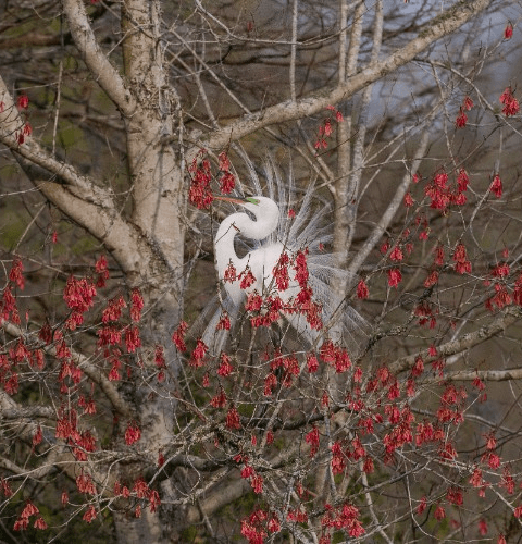 Egret In Red