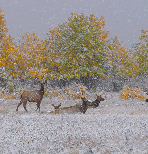Elk Family In Snowfall
