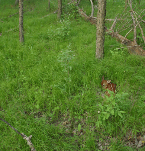 Fawn Hiding In Grasses