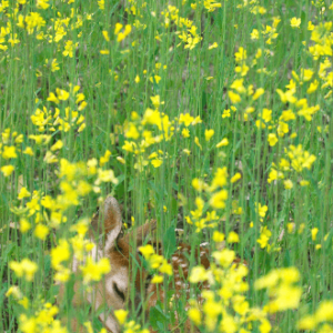 Fawn In Yellow
