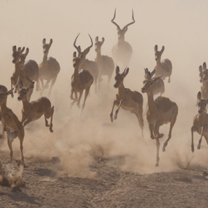 Gazelles In The Dust (1)