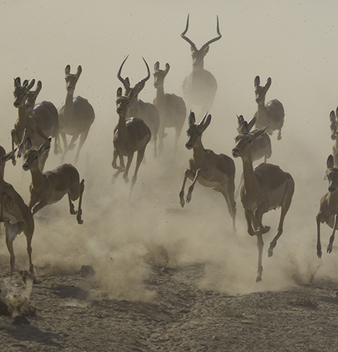Impalas In The Dust
