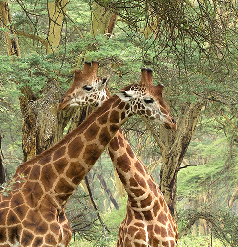 Giraffes With Crossed Necks
