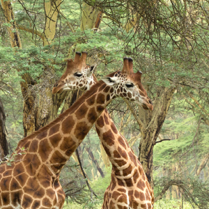 Giraffes With Crossed Necks