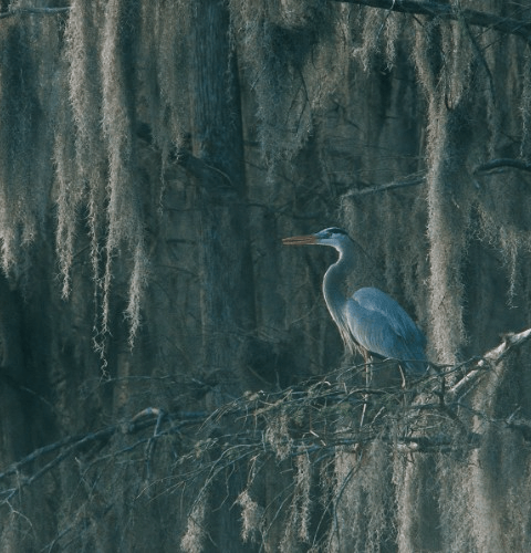 Great Blue Heron In Moss