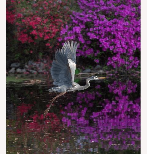 Heron In Purple
