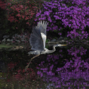 Heron In Purple