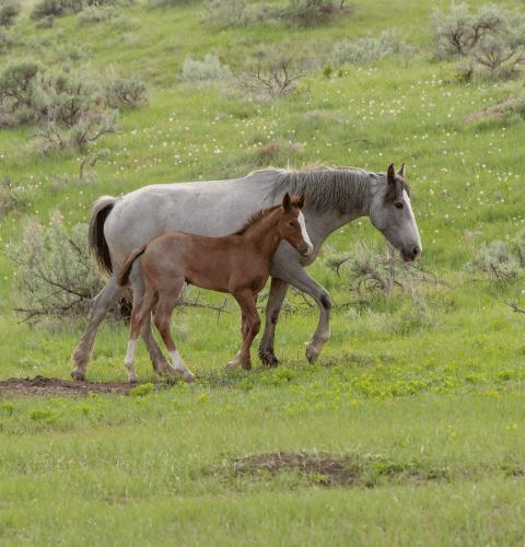 Horses In Dandelions
