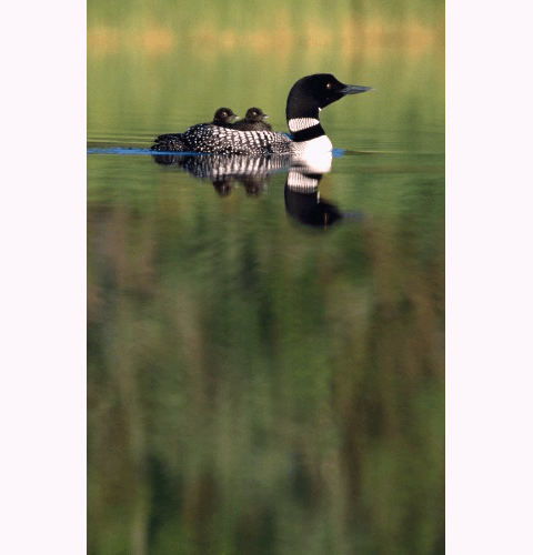 Loon With 2 Chicks