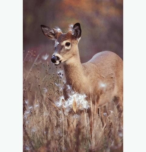 Milkweed Buck