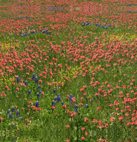 Paintbrush & Bluebonnets