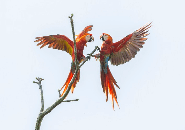 Scarlet Macaw Pair | Stranger in the Woods