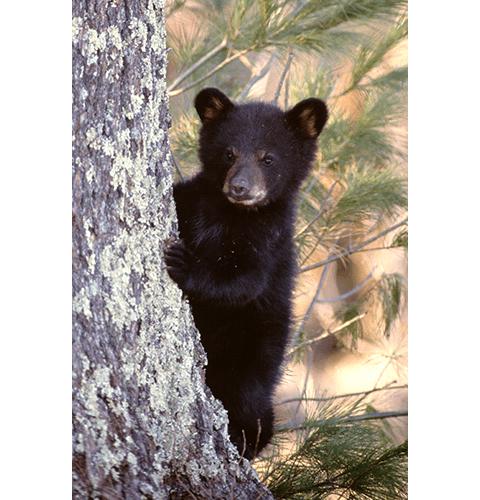 Single Bear Cub
