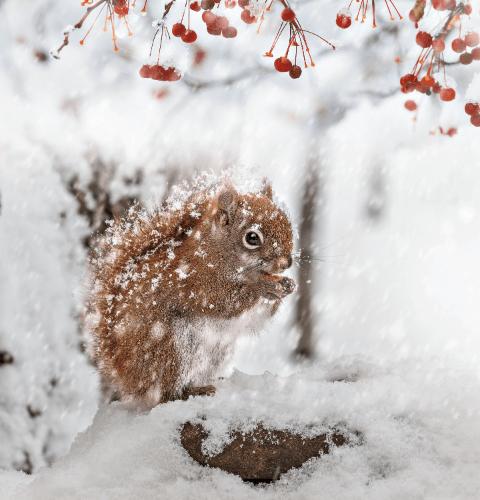 Snowflake Squirrel