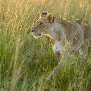 Sunrise Lioness