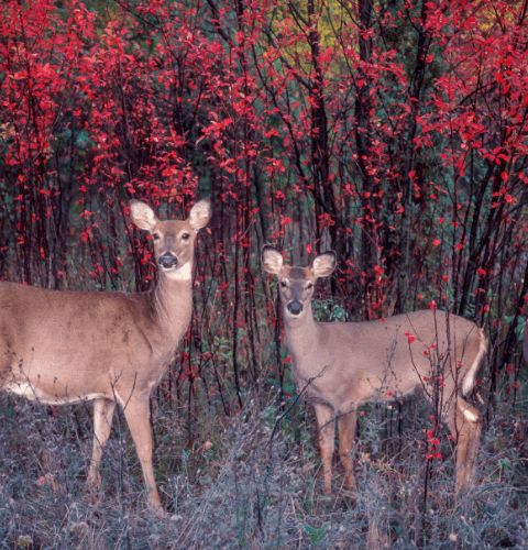 Three Deer In Red