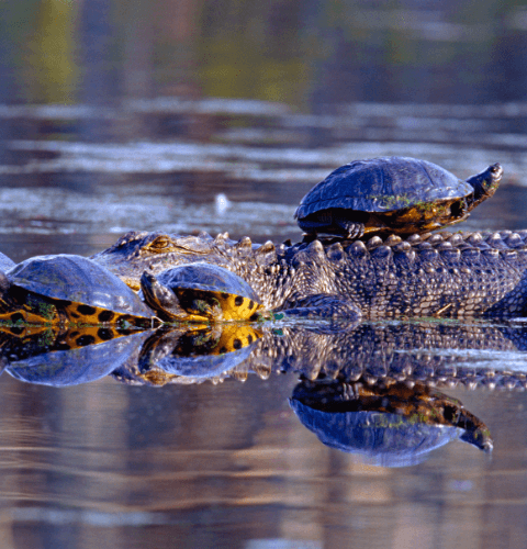 Turtles On Gator