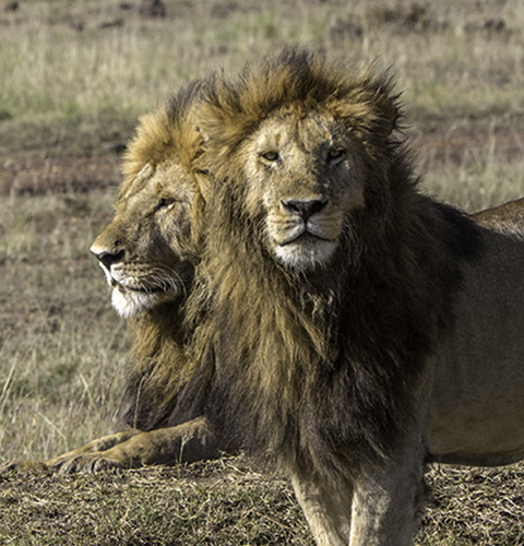 Two-Headed Lion