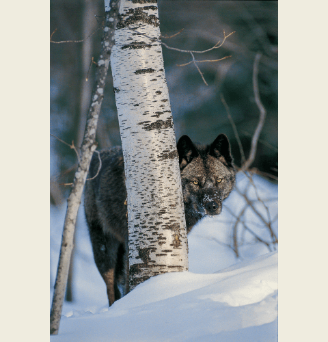 Black Wolf In Birch