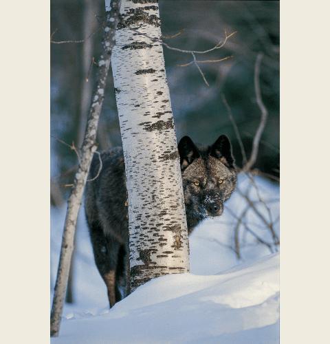 Black Wolf In Birch