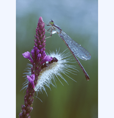 Damselfly & Caterpillar