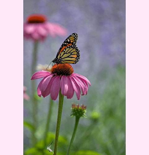Monarch On Cone Flower Close Up