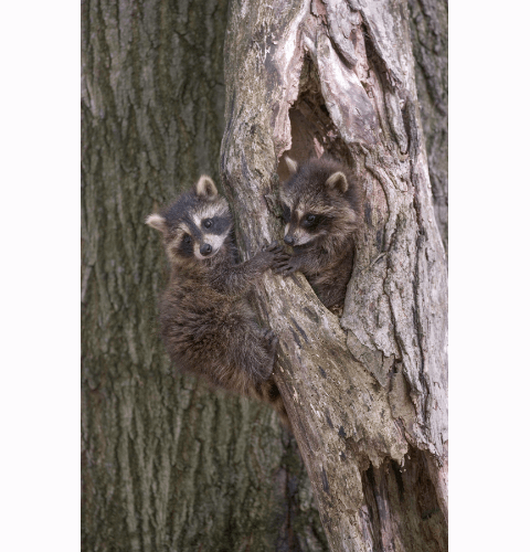 Raccoons Holding Hands